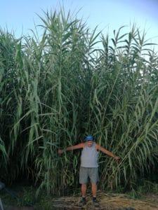 arundo-energy-crop