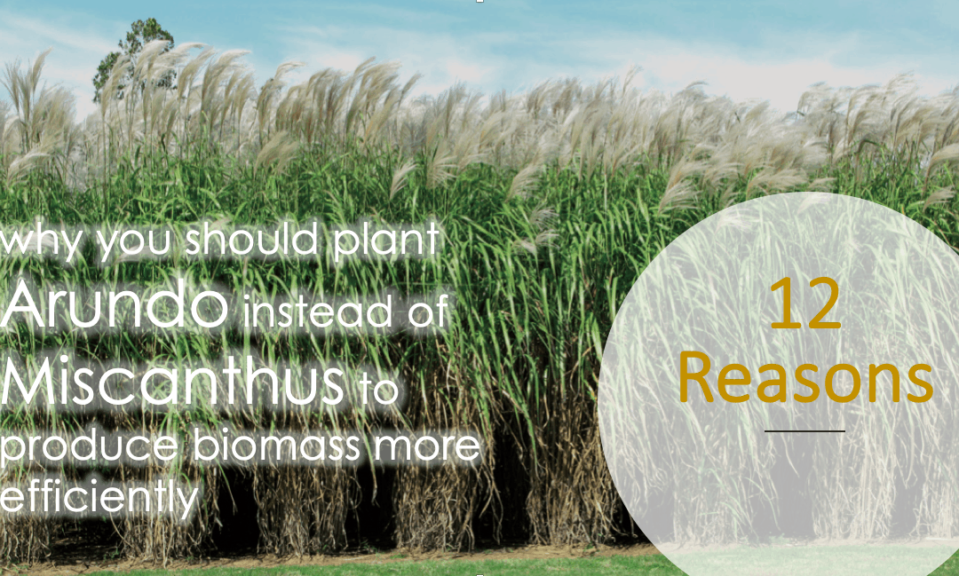 12 REASONS WHY: Arundo is better than Miscanthus