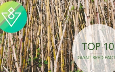 TOP 10 Giant Reed FACTS