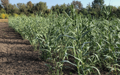 The cultivation and utilization of Giant Reed (Arundo donax L.)