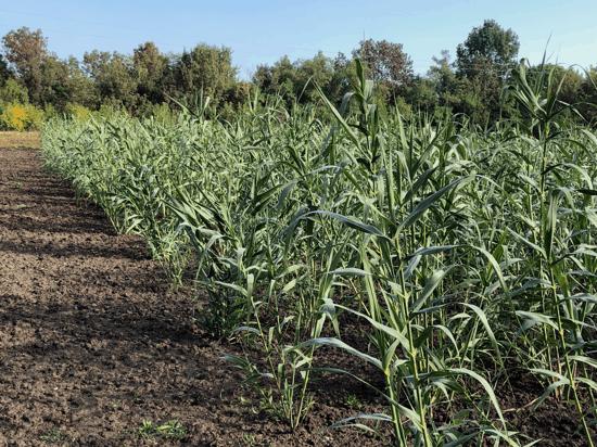 arundo-cultivation