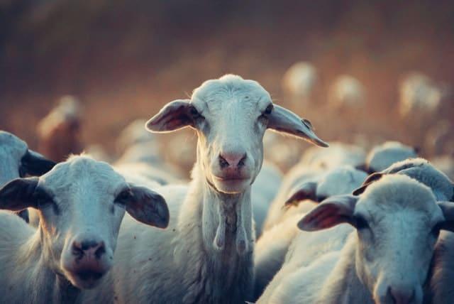 arundo-feeding-cattle