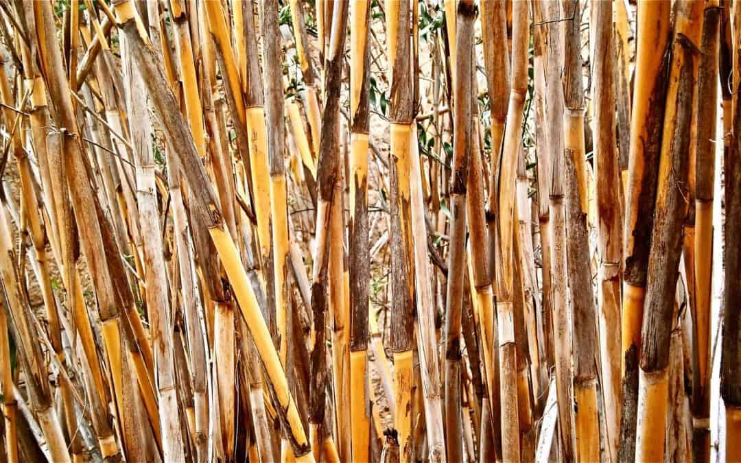 Miscanthus x Giganteus is What You Used For Your Energy Plantations? Why You Should Be Using Arundo Donax L. Instead!