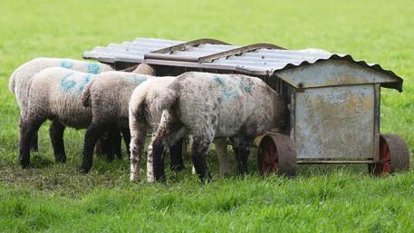 Arundo as Forage Feedstock