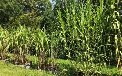 Saline tolerance test: Arundo vs Miscanthus