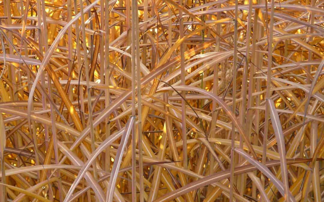 Miscanthus: Reasons Why You Should Choose Arundo for Green Energy Production Instead